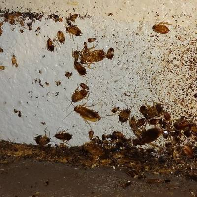 Скопление тараканов в квартире